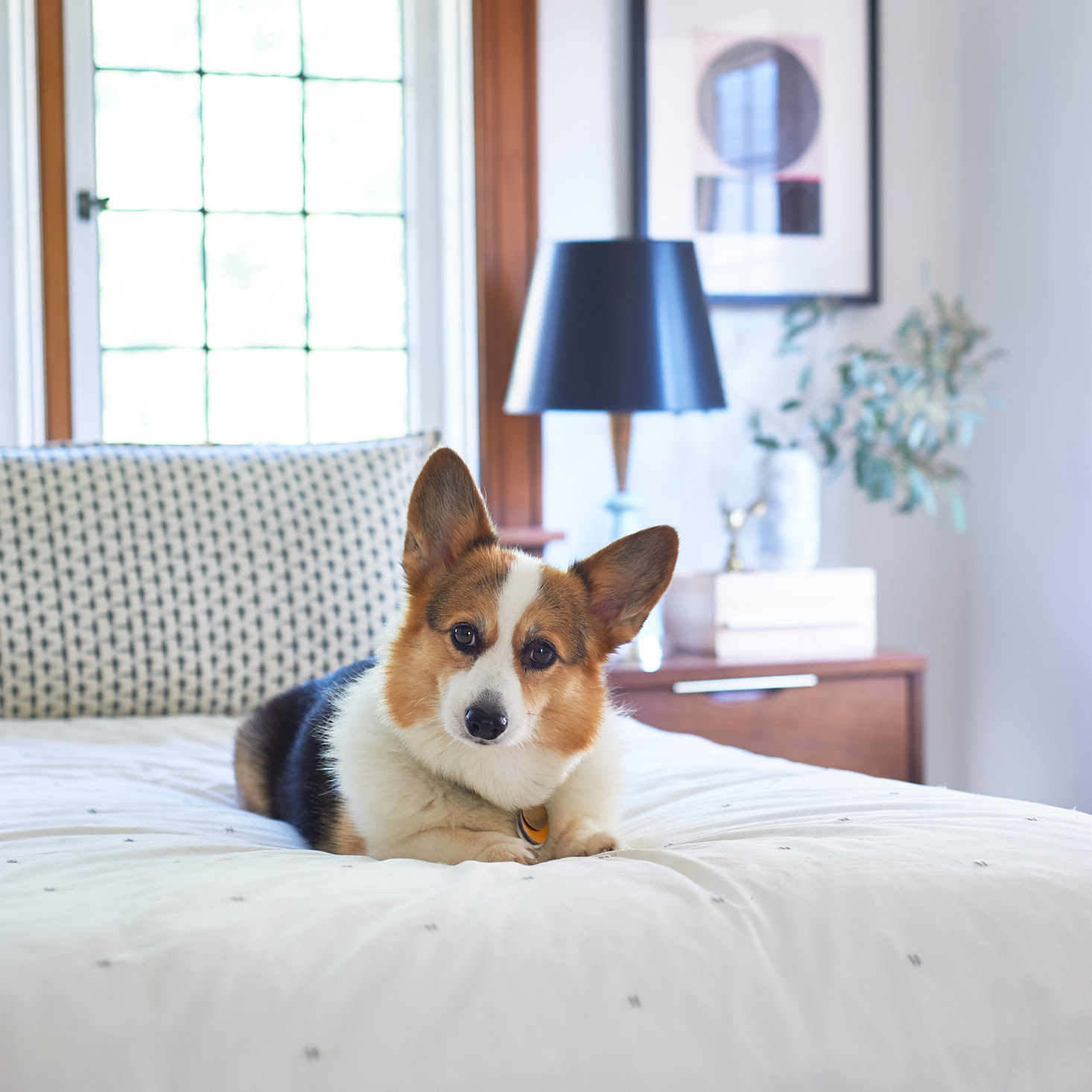 corgi on a bed