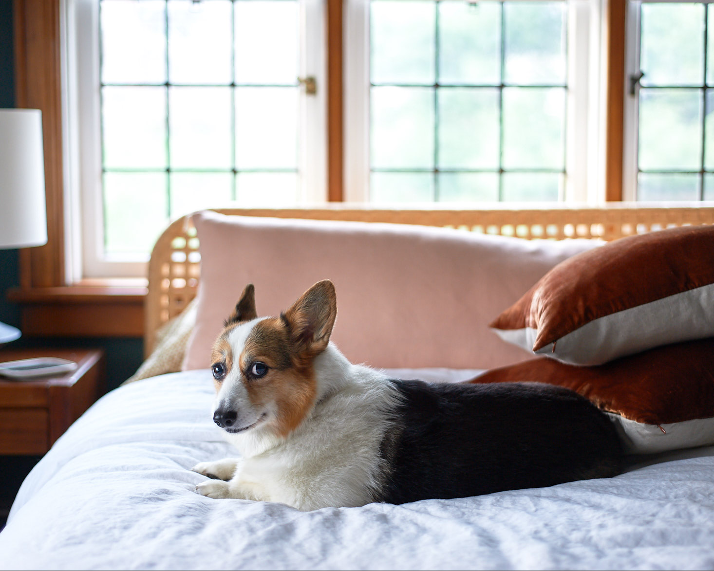 Penelope the corgi